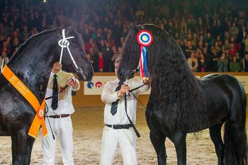 Norbert 444 et Tsjalle 454 - Two superb approved stallions