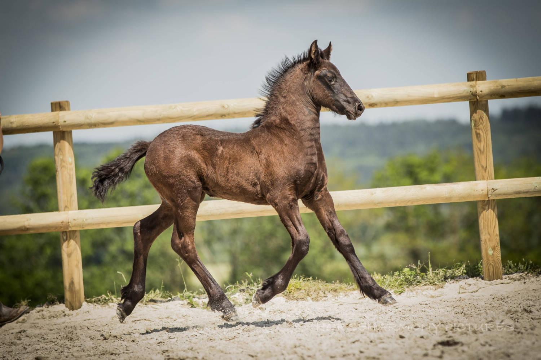 Nos chevaux, race de frison